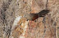 Madagascar Coucal (Centropus toulou) photo