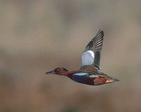 Cinnamon Teal (Anas cyanoptera) photo