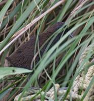 Inaccessible Island Rail (Atlantisia rogersi) photo