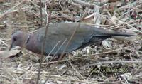 Island Collared-Dove - Streptopelia bitorquata