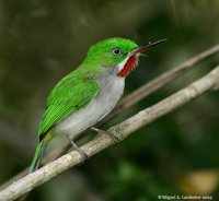 Narrow-billed Tody - Todus angustirostris