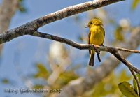Citrine Canary-flycatcher - Culicicapa helianthea