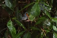 Flame-throated Warbler with worm