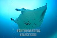 Manta Ray ( Manta birostris ) , Maledives , Indian Ocean stock photo