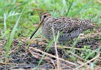 Swinhoe's or Pintail snipe C20D 02749.jpg