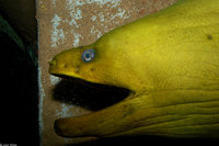 : Gymnothorax funebris; Green Moray Eel