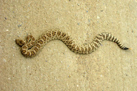 : Northern pacific rattlesnake