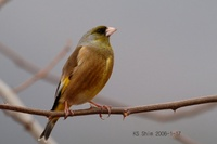 Grey-capped Greenfinch Carduelis sinica
