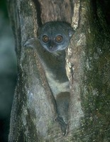 photograph of a northern sportive lemur : Lepilemur septentrionalis