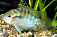 Archocentrus multispinosus, Rainbow cichlid: fisheries, aquarium