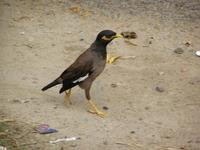 Acridotheres tristis - Common Myna