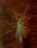 Image of: Chironomidae (midges)