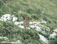 Red-fronted Rosefinch - Carpodacus puniceus