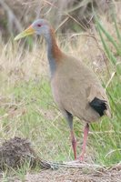 Giant Wood-Rail - Aramides ypecaha