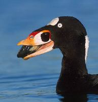 Surf Scoter (Melanitta perspicillata) photo