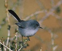 Black-tailed Gnatcatcher (Polioptila melanura) photo