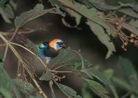 Golden-hooded Tanager (Tangara larvata) photo