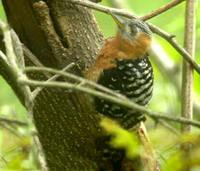 Rufous-bellied Woodpecker - Dendrocopos hyperythrus