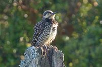 Chilean Flicker - Colaptes pitius