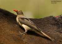 Red-billed Oxpecker - Buphagus erythrorhynchus