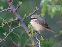 Brown shrike C20D 03279.jpg