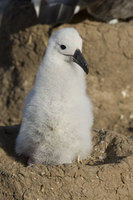 : Thalassarche chrysostoma; Black-browed Albatross