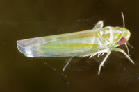 : Empoasca sp.; Leafhopper