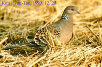 멧비둘기(Rufous Turtle Dove)