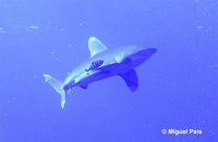 Carcharhinus longimanus, Oceanic whitetip shark: fisheries, gamefish