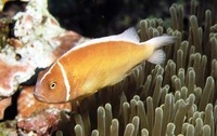 Amphiprion perideraion, Pink anemonefish: aquarium