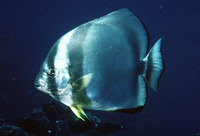 Platax orbicularis, Orbicular batfish: fisheries, aquaculture, aquarium
