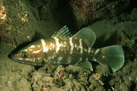 Psammoperca waigiensis, Waigieu seaperch: fisheries, gamefish