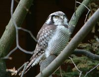 Surnia ulula - Northern Hawk Owl