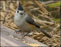 Image of: Parus bicolor (tufted titmouse)