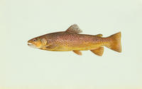 Image of: Salmo trutta (brown trout)