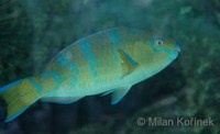 Scarus ghobban - Blue Barred Parrotfish