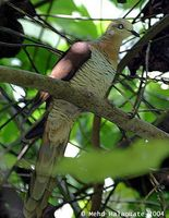 Brown Cuckoo Dove - Macropygia amboinensis
