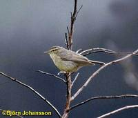 Tickell's Leaf Warbler - Phylloscopus affinis