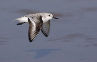 Sanderling (Calidris alba) photo