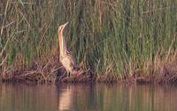Great Bittern (Botaurus stellaris) photo