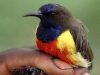 Anchieta's Sunbird - Anthreptes anchietae