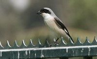 Lesser Gray Shrike - Lanius minor