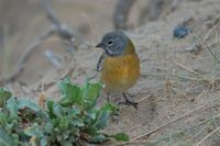 Gray-hooded Sierra-Finch - Phrygilus gayi