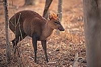 Truong Son Muntjac (Muntiacus truongsonensis) Photo ?? George Schaller Courtesy of API