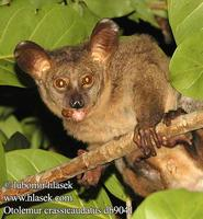 Otolemur crassicaudatus UK: Greater Galago