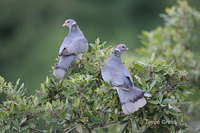 : Columba fasciata; Band-tailed Pigeon