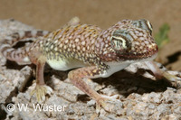 : Stenodactylus doriae; Middle Eastern Short-fingered Gecko