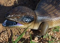 : Tiliqua occipitalis; Western Blue-tongue Skink