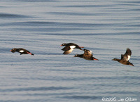 White-winged Scoters were seen just after crossing the bar. 1 October 2006.