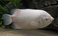 Helostoma temminkii, Kissing gourami: fisheries, aquaculture, gamefish, aquarium